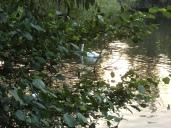 swan in hiding