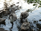 gathering of cygnets