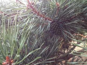 a little pine cone