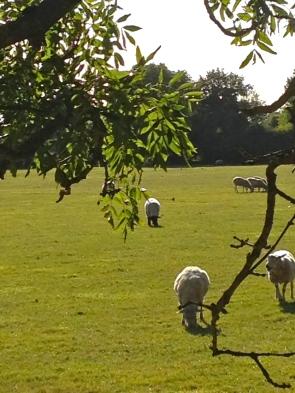 some curious sheep come closer