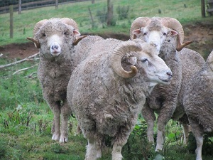 Bowmont sheep, photo from Devon Fine Fibres