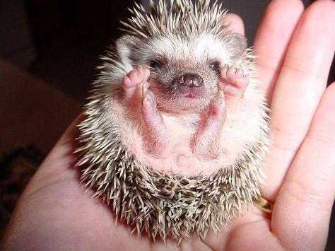a desert hedgehog cub, by Max Korostischeveski