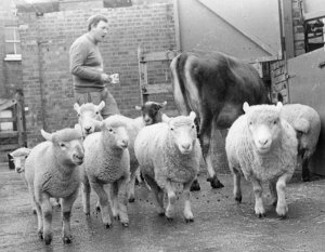 Kentish Town City Farm - herdsman sheep